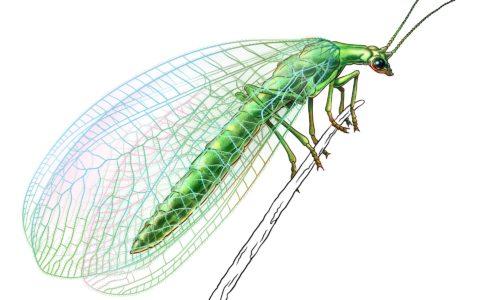 Chrysopidae AS